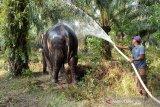 Gajah terakhir di Rohil terpaksa dievakuasi, begini kronologinya