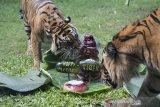 Dua Harimau Sumatera (Panthera tigris sumatrae) bernama Sean (kiri) dan Pandeka (kanan) berebut daging yang dipersiapkan di halaman kandangnya saat peringatan Hari Harimau Sedunia di Bali Zoo, Gianyar, Bali, Selasa (28/72020). Kegiatan tersebut sekaligus untuk memulihkan insting harimau berburu mangsa setelah beberapa bulan kebun binatang itu tutup karena wabah COVID-19. Bali Antaranews/Nyoman Budhiana.