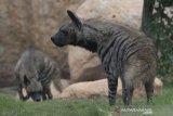 Dua Hyena (Hyaena hyaena) yang baru didatangkan dari Bahrain memasuki kandang barunya di Bali Zoo, Gianyar, Bali, Selasa (28/72020). Sebanyak empat ekor Hyena ditangkarkan untuk dikembangbiakkan di kebun binatang tersebut dan dipersiapkan sebagai obyek menarik menjelang dibukanya pariwisata Bali bagi turis asing pada masa adaptasi kebiasaan baru. Bali Antaranews/Nyoman Budhiana.