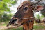 47 ekor sapi disumbangkan ASN Pemkot Tanjungpinang untuk kurban