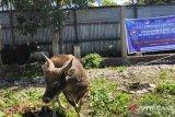 PHBI Jayawijaya prediksi kurban tidak lebih dari 70 ekor