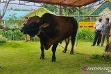 Presiden Jokowi sumbang seekor sapi   kurban seberat 1 ton di Bintan