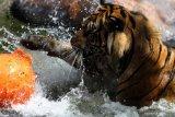Seekor harimau Sumatra (Panthera tigris sumatrae) yang diberi nama Bayu, bermain dengan kado berupa bola dalam Peringatan Hari Harimau Sedunia di Jatim Park 2, Batu, Jawa Timur, Rabu (29/7/2020). Kegiatan tersebut diadakan untuk memberikan dukungan pada program perlindungan habitat dan konservasi harimau agar terhindar dari kepunahan. ANTARA FOTO/Ari Bowo Sucipto/hp.