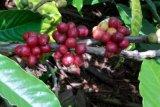 Petani kopi robusta Lampung bertahan di tengah pandemi