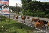 Sapi menjadi ancaman kecelakaan pengguna jalan di Aceh Jaya
