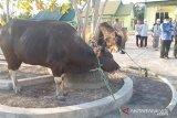 Bupati Kapuas serahkan 27 ekor sapi ke masjid dan langgar