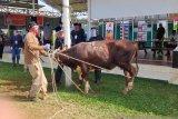 Menteri Hukum Yasonna serahkan lima sapi ke lapas dan rutan