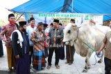 Sapi kurban seberat 947 kilogram dari Presiden Jokowi untuk jamaah Masjid Al-Mu'Minun