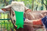 Ingatkan warga, sapi kurban Bupati Bogor dipasangi masker