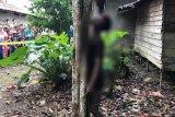 Cinta ditolak janda, seorang pemuda asal Barsel tewas gantung diri di pohon langsat