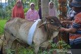Warga Agam dandani hewan sapi kurban sebelum disembelih