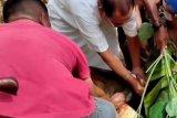 Penyembelihan hewan kurban masih berlangsung di Mamuju