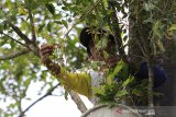 Petani memanen cengkih di Desa Setianegara, Kuningan, Jawa Barat, Senin (3/8/2020). Petani daerah tersebut mengeluhkan harga cengkeh yang turun drastis dari harga Rp90 ribu per kilogram menjadi Rp50 ribu per kilogram akibat musim panen yang bersamaan. ANTARA JABAR/Dedhez Anggara/agr