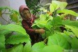 Tenaga pengajar SD Negeri Kapasari VIII memanen daun kol banda yang ditanam memanfaatkan sisa lahan sekolah di Surabaya, Jawa Timur, Senin (3/8/2020). Kegiatan tersebut merupakan realisasi dari pelatihan Pramuka Patriot Lingkungan 2020 yang diharapkan dapat menjadi teladan dalam pengelolaan lingkungan dengan tetap menerapkan protokol kesehatan di tengah pandemi COVID-19. Antara Jatim/Moch Asim/zk.