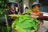 Sejumlah tenaga pengajar SD Negeri Kapasari VIII memanen daun kol banda yang ditanam memanfaatkan sisa lahan sekolah di Surabaya, Jawa Timur, Senin (3/8/2020). Kegiatan tersebut merupakan realisasi dari pelatihan Pramuka Patriot Lingkungan 2020 yang diharapkan dapat menjadi teladan dalam pengelolaan lingkungan dengan tetap menerapkan protokol kesehatan di tengah pandemi COVID-19. Antara Jatim/Moch Asim/zk.