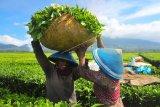 Pekerja mengangkut daun teh usai dipetik di perkebunan PTPN VI, Kayu Aro, Kerinci, Jambi, Senin (3/8/2020). PT Rajawali Nusantara Indonesia (Persero) atau RNI menyebutkan produksi teh nasional hingga bulan Juni 2020 tercatat sebesar 1.801 ton atau meningkat 52 ton dibanding periode yang sama tahun lalu. ANTARA FOTO/Wahdi Septiawan/wsj.