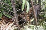 Sektor swasta perlu dilibatkan dalam konservasi pelestarian harimau sumatera