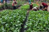 Yogyakarta mengembangkan pertanian perkotaan dengan Kampung Markisa
