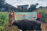 Pemprov Papua sumbang 10 ekor sapi bagi komunitas Muslim Jayapura