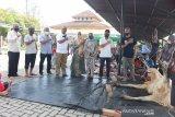 PTPN V sembelih 317 hewan kurban di enam kabupaten