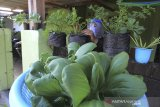 Seorang warga memanen tanaman seledri dan pakcoy di halaman rumahnya di desa Pabean udik, Indramayu, Jawa Barat, Selasa (4/8/2020). Kegiatan berkebun sendiri tersebut sebagai solusi bagi warga dalam upaya menjaga ketahanan pangan di tengah pandemi COVID-19 dan juga mengurangi aktivitas berbelanja di pasar yang menjadi tempat orang berkumpul. ANTARA JABAR/Dedhez Anggara/agr