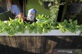 Seorang warga memanen tanaman pakcoy di halaman rumahnya di desa Pabean udik, Indramayu, Jawa Barat, Selasa (4/8/2020). Kegiatan berkebun sendiri tersebut sebagai solusi bagi warga dalam upaya menjaga ketahanan pangan di tengah pandemi COVID-19 dan juga mengurangi aktivitas berbelanja di pasar yang menjadi tempat orang berkumpul. ANTARA JABAR/Dedhez Anggara/agr