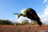 PELEPASLIARAN SATWA PENYERAHAN MASYARAKAT. Burung Merak Hijau (pavo muticus) yang  dilepasliarkan berada savana bekol Taman Nasional Baluran, Situbondo, Jawa Timur, Rabu (15/7/2020). Sebanyak 3 burung Elang jenis Ular Bido, Elang Laut Perut Putih, Elang Brontok Fase Gelap dan 4 burung Merak hijau hasil dari penyerahan masyarakat di Balai KSDA Yogyakarta, dilepasliarkan di Taman Nasional Baluran. Antara Jatim/Budi Candra Setya/zk