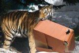PERINGATAN HARI HARIMAU SEDUNIA. Seekor harimau Siberia (Panthera tigris altaica) berusaha membuka kado berisi daging yang disiapkan untuknya dalam Peringatan Hari Harimau Sedunia di Jatim Park 2, Batu, Jawa Timur, Rabu (29/7/2020). Kegiatan tersebut diadakan untuk memberikan dukungan pada program perlindungan habitat dan konservasi harimau agar terhindar dari kepunahan. Antara Jatim/Ari Bowo Sucipto/zk