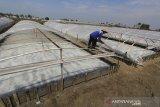 Petani memeriksa kolam garam yang menggunakan plastik tunel di Luwunggesik, Krangkeng, Indramayu, Jawa Barat, Selasa (4/8/2020). Petani garam mengaku rugi akibat harga garam yang turun drastis mencapai Rp200 per kilogram sehingga tidak menutup biaya produksi. ANTARA JABAR/Dedhez Anggara/agr