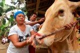 TRADISI MERIAS HEWAN KURBAN. Warga merias sapi kurban di Papring, Banyuwangi, Jawa Timur, Jumat (31/7/2020). Tradisi turun-temurun merias  hewan kurban itu, sebagai bentuk simbol-simbol doa untuk yang berkurban dan hewan yang dikurbankan agar dalam kondisi baik. Antara Jatim/Budi Candra Setya/zk