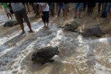 Petugas dan pemerhati satwa dilindungi mengawasi sejumlah penyu hijau (Chelonia mydas) saat pelepasliaran di Pantai Kuta, Badung, Bali, Rabu (5/8/2020). Ditpolairud Polda Bali, Balai Konservasi Sumber Daya Alam (BKSDA) Bali dan para pemerhati satwa dilindungi melepasliarkan 25 dari 36 ekor penyu hijau hasil sitaan dari upaya penyelundupan di perairan Serangan, Denpasar dan 11 ekor lainnya sebagai barang bukti dalam persidangan dengan delapan tersangka. ANTARA FOTO/Nyoman Hendra Wibowo/nym.
