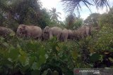 Belasan  gajah liar masuk permukiman warga di Bengkalis