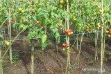 Distan Kabupaten Sangihe dorong kecamatan miliki hasil pertanian unggulan