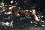 Harimau dekati pemukiman penduduk dan mangsa sapi warga