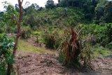 Pulahan gajah liar obrak-abrik kebun sawit warga