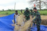 Indonesian soldiers offer rice harvesting assistance to native Papuan farmers