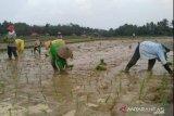 Ribuan hektare lahan sawah di Kota Metro, Lampung siap tanam gadu