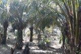 Kelompok tani Mukomuko tanam sawit unggul
