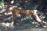 Nasib harimau jawa tergantung kelestarian Pegunungan Muria, kata Perhutani