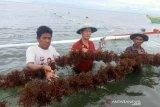 Produksi rumput laut Parigi Moutong menurun akibat cuaca buruk