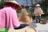 Warga membersihkan gabah di kawasan pertanian organik Gubug Lazaris Desa Sambirejo, Kediri, Jawa Timur, Sabtu (8/8/2020). Lahan seluas 2,5 hektar tersebut menerapkan pertanian organik ramah lingkungan mulai dari pembuatan pupuk, pemanfaatan sampah organik, pengadaan benih, perawatan tanaman, hingga pengemasan dan pemasaran hasil pertanian guna mendorong masyarakat sekitar menjadi petani mandiri. Antara Jatim/Prasetia Fauzani/zk.
