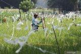 Warga mengusir burung hama padi di kawasan pertanian organik Gubug Lazaris Desa Sambirejo, Kediri, Jawa Timur, Sabtu (8/8/2020). Lahan seluas 2,5 hektar tersebut menerapkan pertanian organik ramah lingkungan mulai dari pembuatan pupuk, pemanfaatan sampah organik, pengadaan benih, perawatan tanaman, hingga pengemasan dan pemasaran hasil pertanian guna mendorong masyarakat sekitar menjadi petani mandiri. Antara Jatim/Prasetia Fauzani/zk.