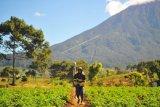 Petani bergegas usai menyemprotkan cairan pestisida pada tanaman kentang di Gunung Labu, Kayu Aro Barat, Kerinci, Jambi, Jumat (7/8/2020). Kementerian Pertanian mendorong para petani untuk mengakses kredit usaha rakyat (KUR) yang telah digelontorkan pemerintah melalui perbankan sebesar Rp50 triliun pada tahun ini guna meningkatkan usaha tani maupun memperluas budi daya tanaman pertanian. ANTARA FOTO/Wahdi Septiawan.