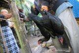 Tetelo adalah penyebab kematian unggas di Aceh Barat akibat penyakit