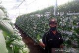 Pertanian hidroponik di Rejang Lebong cukup menjanjikan seiring meningkatnya permintaan sayuran organik