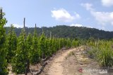 Pemkab Belitung akan intensif meremajakan 100 hektare kebun lada