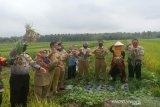 Petani Kulon Progo panen bawang merah sistem mulsa seluas dua hektare