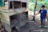 Petugas Unit Pelaksana Teknis Dinas Pusat Kesehatan Hewan (UPTD PUKESWAN) Kabupaten Aceh Barat melakukan penyemprotan cairan disinfektan kadang ayam milik warga di Desa Alue Raya, Samatiga, Aceh Barat, Aceh, Selasa (11/8/2020). Penyemprotan tersebut bertujuan untuk mengendalikan dan memanimalisir wabah Newcasle Desease (ND) atau penyakit tetelo agar tidak terus meluas. Antara Aceh/Syifa Yulinnas.