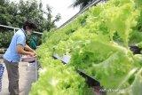Warga Tangerang jadikan atap rumah jadi kebun hidroponik, untung jutaan