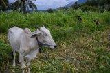 Peternak memanfaatkan sisa tanaman jagung untuk pakan peternak